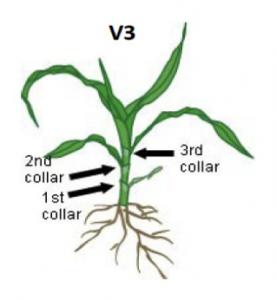 Corn at V3