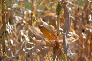 Dryland Corn photo
