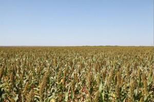 Dryland Grain Sorghum