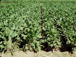 Sugar Beets Crop